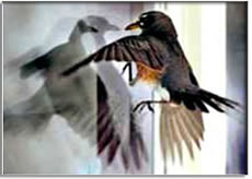bird_window-jpg-ornilux